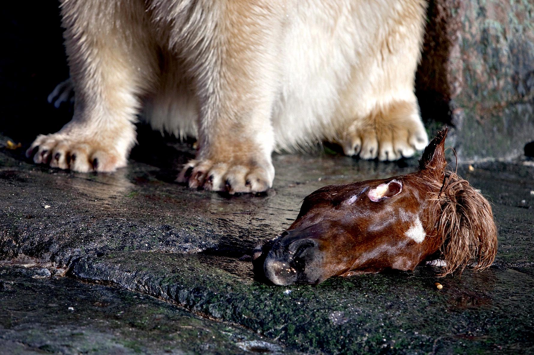 ZOO 150 år. Isbjørnene bliver fodret med hestehoveder